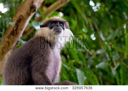 poster of An Adult Purple Faced Langur (trachypithecus Vetulus) Sits In A Tree And Surveys The Nearby Canopy A
