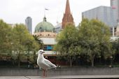 Playful Singel Seagull Posing By The River In The Cbd Inner City Melbourne With City Buildings And F poster