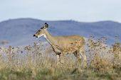 A White Tail Deer Stands On A Hilltop Grazing On Grass At The National Elk And Bison Range In Montan poster