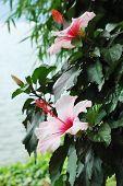 Arbusto de la flor de Hibiscus