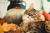 Maine Coon With Funny Green Eyes Playing With Yellow Leaves. Cute Tabby Cat Lying On Rustic Table Wi poster