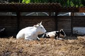 white and black cows in a cowshed concept of captivity
