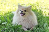 Funny Dog On The Grass With A Toy. Let `s Play! Dog German Pomeranian Spitz Guards Its Prey. Stick F poster