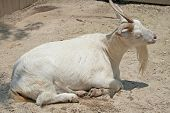 White Billy Goat