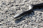 picture of harmless snakes  - a common north American black snake slithering across the road - JPG