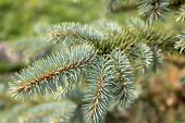 Branch Of Blue Spruce. Beautiful Fluffy Spruce Branch With Needles. Christmas Tree In Nature. Spruce poster