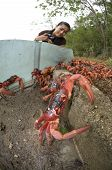 Girl Looking at Red Crabs by Barrier in Christmas Island