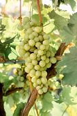 Close-up Ripe Bunch Of White Grapes On Vine For Wine Making. Autumn Grapes Harvest, Fresh Fruits. Ch poster