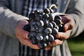 Man Crop Ripe Bunch Of Black Grapes On Vine. Male Hands Picking Autumn Grapes Harvest For Wine Makin poster