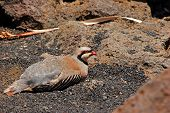 Chukar Partridge Bird
