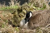 foto of mother goose  - Canada Goose with six Goslings scrambling to get closer to their mother - JPG