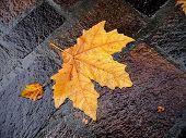 Fall Bright Wet Leaf
