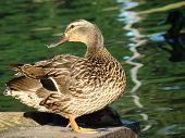 Duck Sunning At Pond