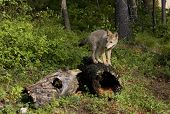 stock photo of hollow log  - Young coyote standing on hollow log in the woods  - JPG
