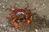 Crushed Red Crab in Christmas Island