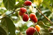 stock photo of croton  - clusters of soon to be Purging Croton are hanging from a fruit tree