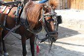 draft animals horse