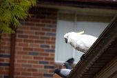 Sulphur-crested Cockatoo Seating On A Roof On A Rainy Day. Urban Wildlife. Australian Backyard Visit poster
