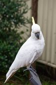 Sulphur-crested Cockatoo Seating On A Chair. Urban Wildlife. Australian Backyard Visitors poster