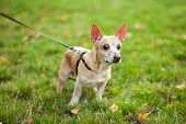 Red Haired Dog Chihuahua Walks In A Public Park In Fall On Leash. Smooth Chihuahua Dog On A Walk. Wa poster