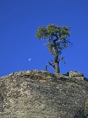 Pinyon With Moon