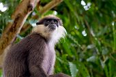 An Adult Purple Faced Langur (trachypithecus Vetulus) Sits In A Tree And Surveys The Nearby Canopy A poster