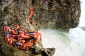 Red Crabs On Rocks by Beach on Christmas Island