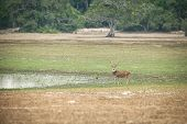 Sri Lankan Axis Deer (axis Axis Ceylonensis) Or Ceylon Spotted Deer In Natural Habitat Near Lake In  poster