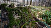 Green Moss Grows On The Tree. Natural Moss In The Forest Covered With Moss Tree. Green Moss On Grung poster