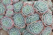 picture of hen house  - Hens and Chicks or House leek Succulent - JPG