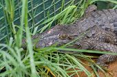 Nile Crocodile Captured Near Albert Falls Dam, Pietermaritzburg