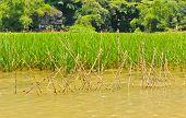 Rice Field Along Ngo Dong River
