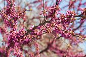 Purple Tree Blossom In Spring