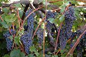 Red Vineyard Grapes