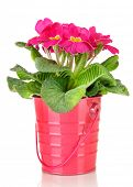 Beautiful pink primula in  pail, isolated on white