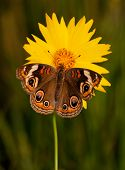 Common Buckeye butterfly, Junonia coenia, on a bright yellow Coreopsis flower on a late spring evening