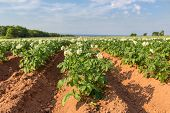 A field in rural Prince Edward Island, Canada of potato plants in full flower.  The Confederation Br