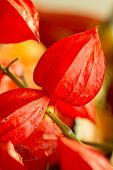 Chinese Lantern Flower