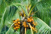 Orange Color Fresh Coconut Fruit On Tree