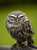 stock photo of angry bird  - Angry looking little owl  - JPG