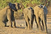 Elephant, African - Wildlife Background from Africa - Play time of the Restless calves