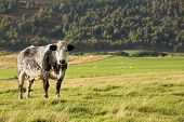 Black and white dappled cow standing in green field