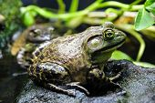 stock photo of wetland  - A Bullfrog standing on a rock in a wetland pond habitat - JPG