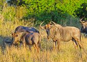 Blue Wildebeest in Golden Light, Kruger National Park