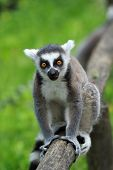 The Ring-tailed Lemur