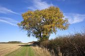 Autumn Ash Tree