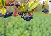 Chokeberry Berries