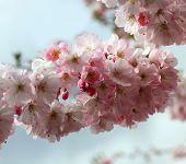 pic of japanese magnolia  - Blooming spring tree branch in the garden