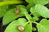 foto of potato bug  - Colorado potato beetle on a green leaves - JPG
