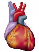 Human heart detailed vector. Anatomic vector illustration of a human heart.